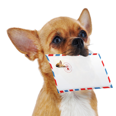 Red chihuahua dog with post envelope isolated on white background. Closeup.