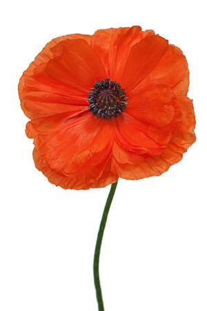 Single poppy isolated on white background. Closeup. photo