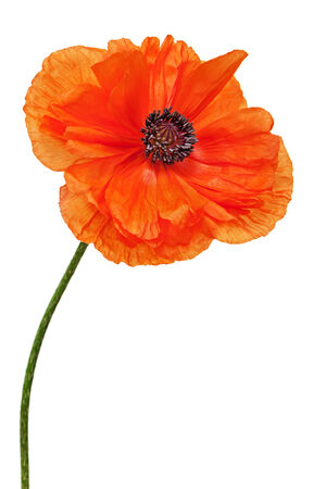 Single poppy isolated on white background. Closeup. photo