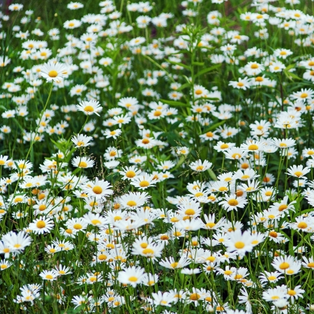 Green flowering meadow with white daisies. Selective focus. photo
