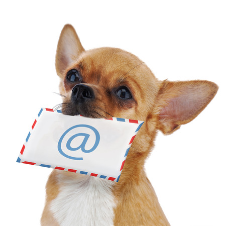 Red chihuahua dog with post envelope and icon e-male isolated on white background. Closeup.