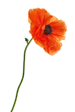 Single poppy isolated on white background. Closeup. Stok Fotoğraf