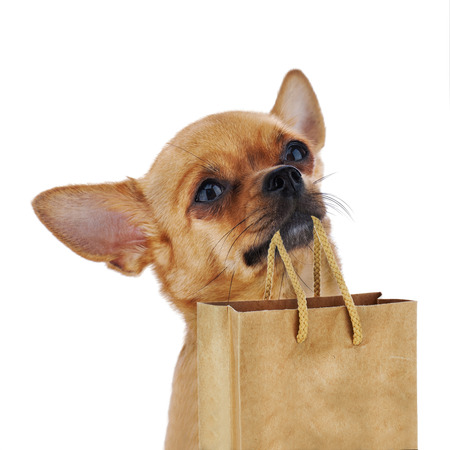 Red chihuahua dog with recycle paper bag isolated on white background. Closeup. photo