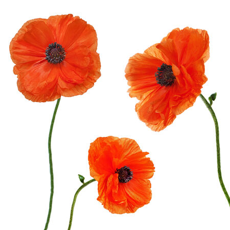 Set of single poppy flowers isolated on white  photo
