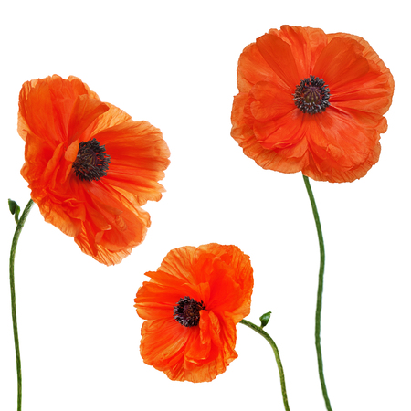 Set of single poppy flowers isolated on white background