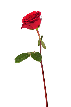 single red rose: Red rose isolated on white background. Closeup.