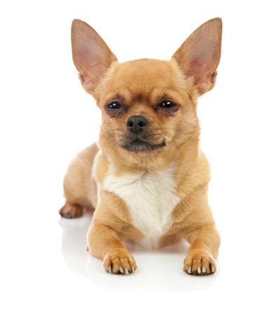 Chihuahua dog isolated on white background. Closeup.