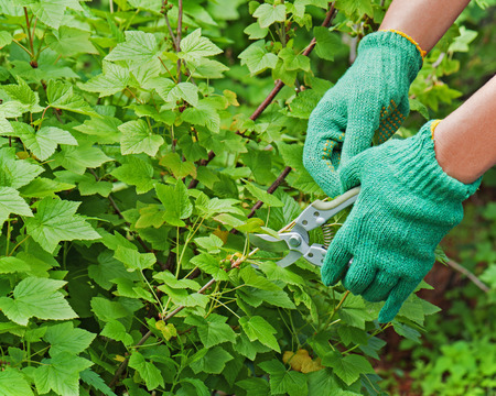 Hands with garden pruner in the garden. Closeup. photo