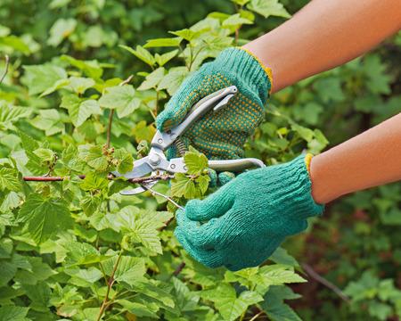 pruner: Hands with green pruner in the garden. Closeup.