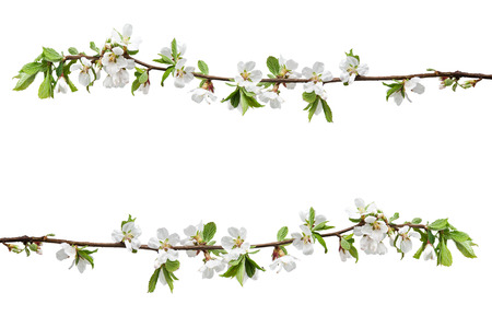 Spring flowering branches of Cherry blossom isolated on white background.