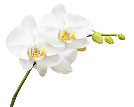 Three day old white orchid isolated on white background. Closeup. photo