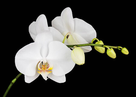Three day old white orchid on black background. Closeup. photo