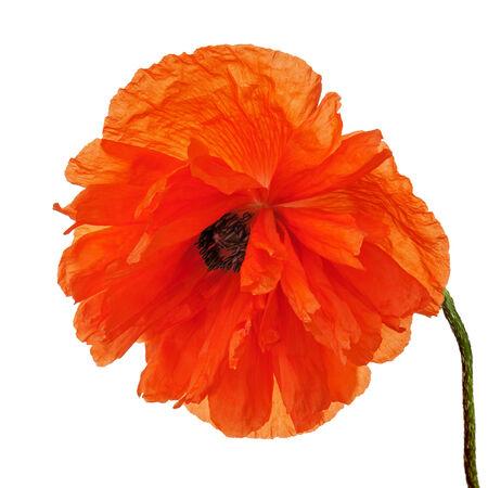 Single poppy flower isolated on white background. Closeup. photo