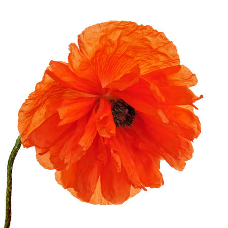Single poppy flower isolated on white background. Closeup. photo