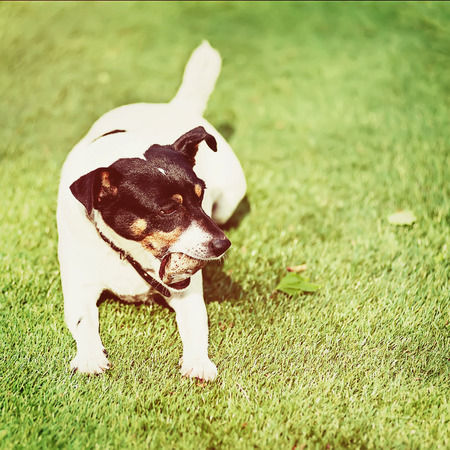 Jack Russell Terrier dog on nature background with retro filter effect. photo