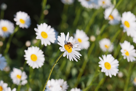 Green flowering meadow with white daisies and honey bee. Natural background. photo