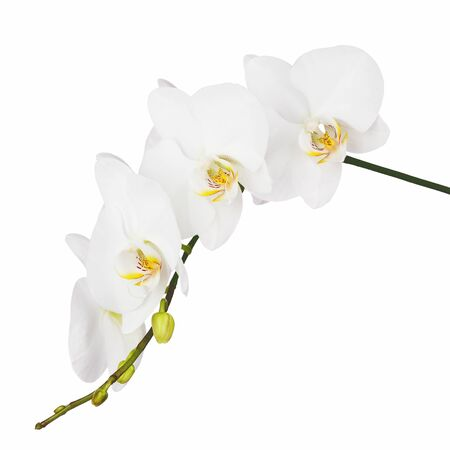 White orchid isolated on white background. Closeup. photo