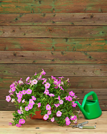 Pink petunia flowers in flowerpot with garden accessories on wooden background. photo