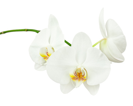 Three day old white orchid isolated on white background. Closeup. Stock Photo