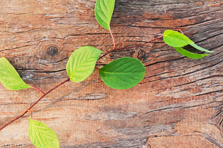 chinensis: Sprig of Far Eastern Schisandra chinensis on old wooden background. Closeup. Stock Photo