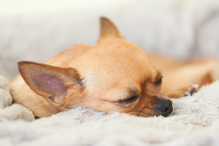 Sleeping red chihuahua dog on beige background. Closeup. photo