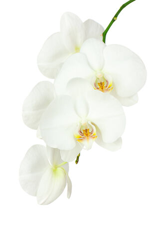 Seven day old white orchid isolated on white background. Closeup. photo