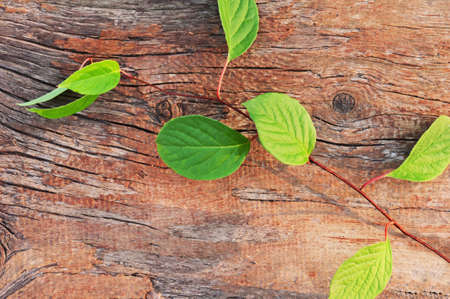 far eastern: Sprig of Far Eastern Schisandra chinensis on old wooden background. Closeup. Stock Photo