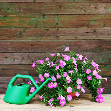 Pink petunia flowers in flowerpot with garden accessories on wooden background. photo