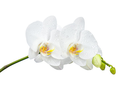 fuchsias: Blooming twig of white orchid isolated on white background. Stock Photo