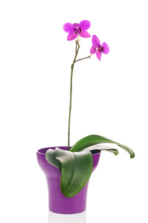 fuchsias: Blooming twig of fuchsia orchid in purple flower pot isolated on white background. Closeup.
