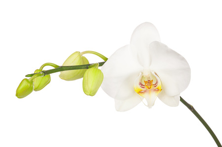 fuchsias: Blooming twig of white orchid with bandler isolated on white background. Closeup.