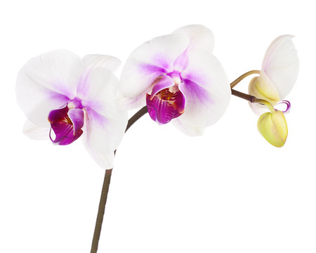 fuchsias: Blooming twig of white purple orchid, phalaenopsis isolated on white background.