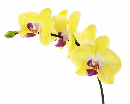 fuchsias: Blooming twig of yellow purple orchid, phalaenopsis isolated on white background. Stock Photo