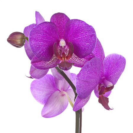 Blooming twig of purple orchid isolated on white background. Closeup. Foto de archivo