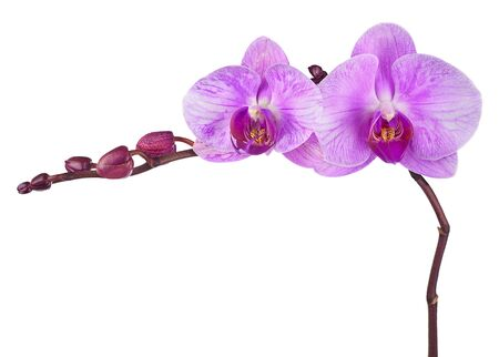 purple orchid: Very rare purple orchid isolated on white background. Closeup.