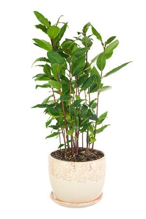 pequeño árbol de laurel en maceta aislado sobre fondo blanco. de