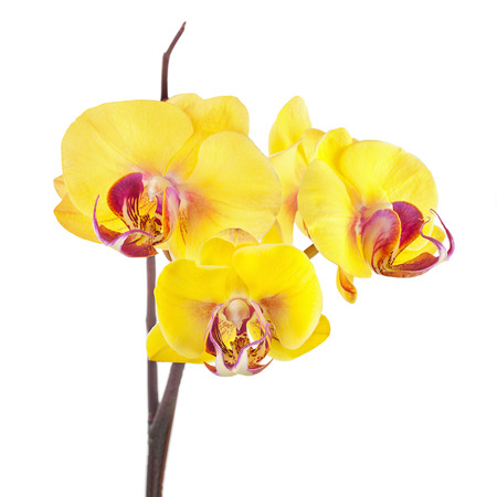 fuchsias: Blooming twig of yellow purple orchids isolated on white background.