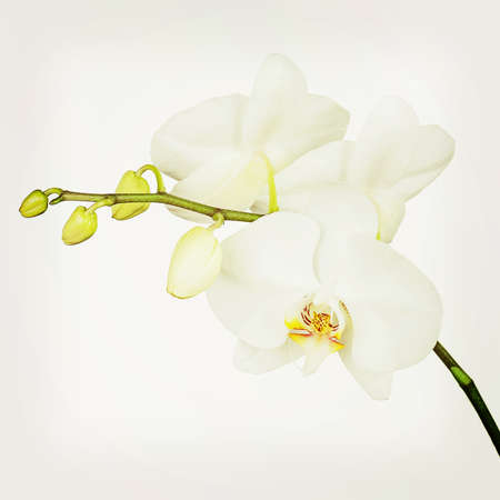 Three day old white orchid with retro filter effect. Closeup. photo
