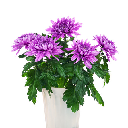 flower in pot: Bouquet of chrysanthemums in flower pot isolated on white background. Closeup. Stock Photo