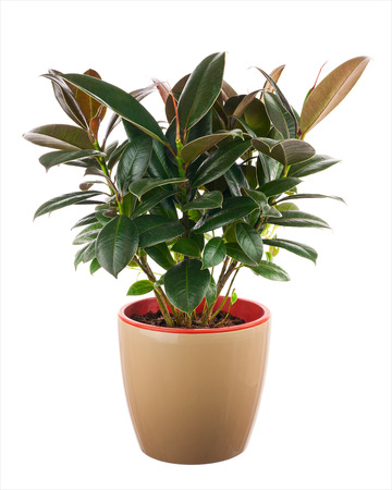 Ficus elastica (Indian Rubber Bush) in light brown flowerpot isolated on white background. Closeup. Imagens