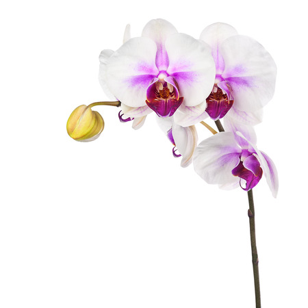 fuchsias: Blooming twig of white purple orchid isolated on white background. Closeup.