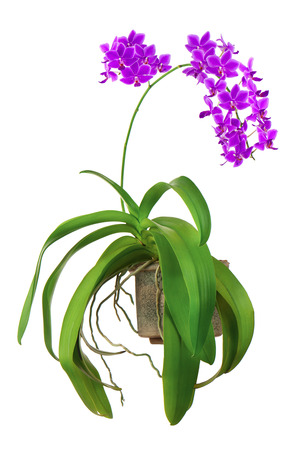 orchid: Blooming twig of purple orchid in flower pot isolated on white background Stock Photo