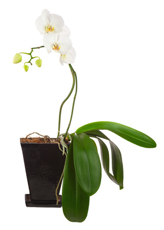 orchids in black flowerpot isolated on white background Stock Photo