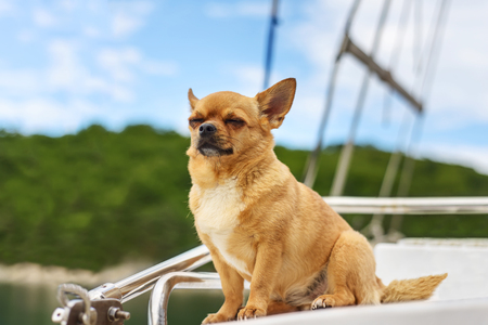 Very satisfied purebred chihuahua dog with closed eyes in pleasure on background of yacht and the sea coast. Closeup.