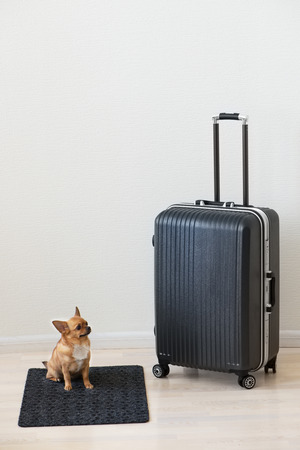 large dog: Large family polycarbonate luggage and small chihuahua dog on white wooden background.