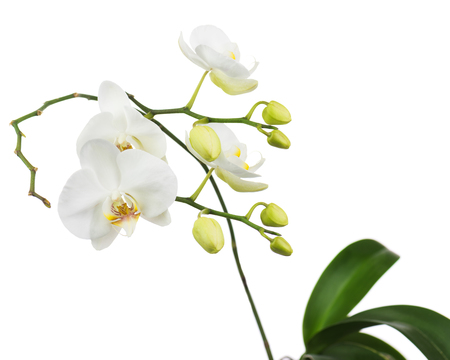 orchid branch: Beautiful orchid branch isolated on white background. Closeup.