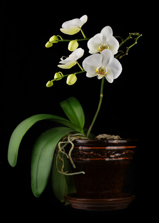 orchid branch: Beautiful orchid branch in flower pot on black background. Closeup.