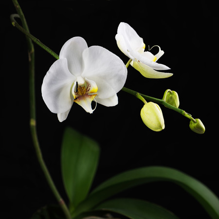 orchid branch: Beautiful white orchid branch on black background. Closeup. Stock Photo