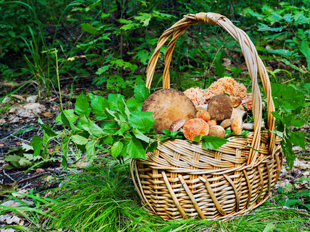Basket of mushrooms in autumn forest in sunny day. Closeup.