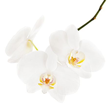 phal: White ortchid isolated on white background. Closeup.